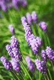 Grape hyacinth flowers Stock Photography