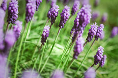 Grape hyacinth flowers Royalty Free Stock Images