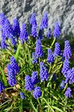 Grape hyacinth in the garden on the wall background. In the spring Royalty Free Stock Image