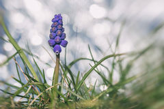 Grape hyacinth in grass Royalty Free Stock Photography