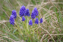 Grape hyacinth. In grass in spring time Royalty Free Stock Image