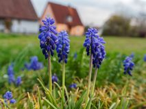 Grape hyacinth growing infront of houses royalty free stock images