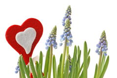 Grape Hyacinth and Heart Royalty Free Stock Images