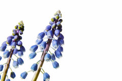 Grape hyacinth Royalty Free Stock Image