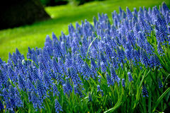 Grape Hyacinth in Keukenhof park Stock Photography