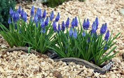 Grape hyacinth and moss Stock Images