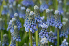 Grape hyacinth muscari Stock Photography