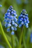 Grape hyacinth or muscari. In close up Stock Photography