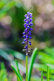Grape hyacinth (Muscari) Royalty Free Stock Images