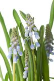 Grape hyacinth. Muscari, also called grape hyacinth, is a genus of perennial plants that produce spikes of dense, most commonly blue, urn-shaped flowers Royalty Free Stock Images