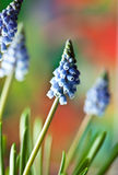 Grape Hyacinth Muscari armeniacum Stock Image