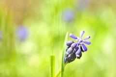 Grape hyacinth or 'muscari armeniacum' Royalty Free Stock Image