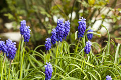 Grape hyacinth(Muscari armeniacum) Royalty Free Stock Image