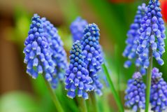 Grape Hyacinth Muscari armeniacum flower Stock Photos