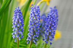 Grape Hyacinth Muscari armeniacum flower Royalty Free Stock Image