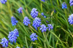 Grape hyacinth Muscari armeniacum flowering in early spring. stock photography