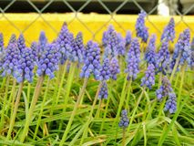 Grape hyacinth Muscari armeniacum flowering in early spring. Macro of blue Muscari flower meadow with yellow curb and chain link f. Ence in background in Royalty Free Stock Images