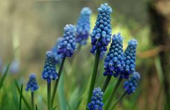 Grape Hyacinth. A muscari armeniacum flowers or commonly known as grape hyacinth in spring garden Stock Photos