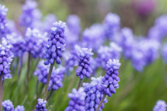 Grape Hyacinth - Muscari armeniacum Royalty Free Stock Photo