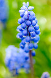 Grape Hyacinth muscari Royalty Free Stock Photos