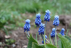 Grape hyacinth muscari Stock Photos