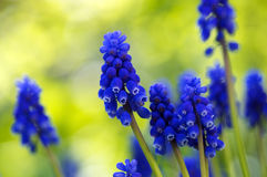 Grape Hyacinth (Muscari botryoides) Royalty Free Stock Images