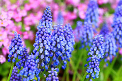 Grape hyacinth. (Muscari botryoides) in Japan Stock Photography