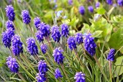 Grape hyacinth - muscari flowers closeup. Close-up of blue Grape hyacinth - muscari flowers royalty free stock photography