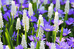 Grape hyacinth - muscari flowers closeup Royalty Free Stock Image