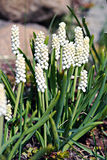 Grape hyacinth (Muscari) flowers. Grape hyacinth (Muscari) flowerbed in garden Stock Photos