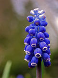 Grape Hyacinth (Muscari racemosum) Stock Photos