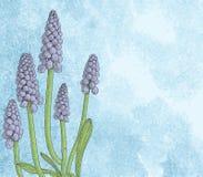 Grape hyacinth, or muskari, on grunge paper background Royalty Free Stock Photography