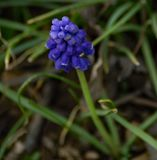 Close-up of a Grape Hyacinth Also Called Muscari. Grape hyacinth is a perennial bulbous plant native to Eurasia that produce spikes of dense, most commonly blue Stock Images