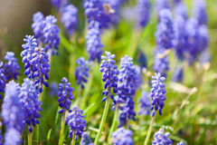 Grape hyacinth or pink lilac in nature Royalty Free Stock Image