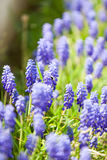 Grape hyacinth or pink lilac in nature Royalty Free Stock Photography