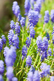 Grape hyacinth or pink lilac in nature Stock Photo