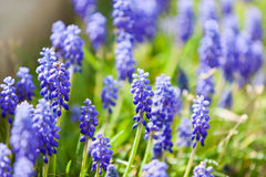 Grape hyacinth or pink lilac in nature Stock Image