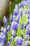 Grape hyacinth or pink lilac in nature Royalty Free Stock Photos