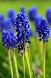 Grape Hyacinth (portrait orientation) Stock Image