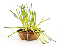 Grape hyacinth in a pot Royalty Free Stock Photography