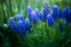 Grape hyacinth after rain Stock Photo