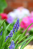 Grape hyacinth in spring Stock Photography