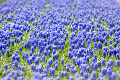 Grape hyacinth in spring Royalty Free Stock Images