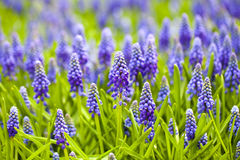 Grape hyacinth in spring season Stock Photography