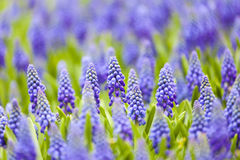 Grape hyacinth in spring Stock Photos