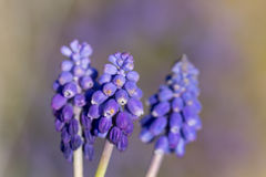 Grape hyacinth in spring time Royalty Free Stock Photography