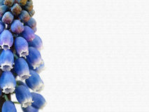 Grape hyacinth stylized. And filtered as exclusive postcard Royalty Free Stock Image