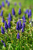 Grape hyacinth in sunshine Royalty Free Stock Photo