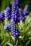 Grape hyacinth Stock Photography