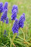 Grape hyacinth (Viper bow) flowers. Grape hyacinth (Viper bow) spring flowers against green, blurred background, vertical orientation Stock Image